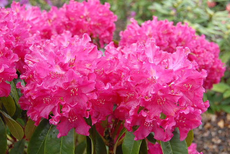 http://www.rhodoland.nl/fotos2/rhododendron_moorrose.jpg