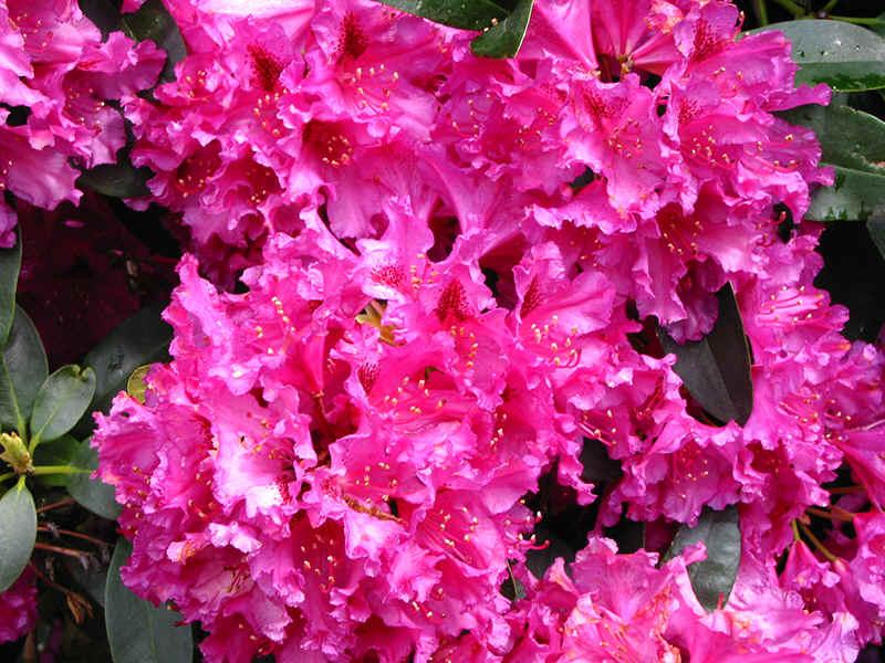 http://www.rhodoland.nl/fotos2/rhododendron_myrte.jpg