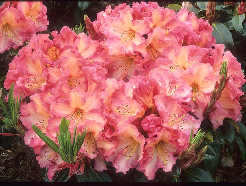 Oranje Bloeiende Rhododendrons