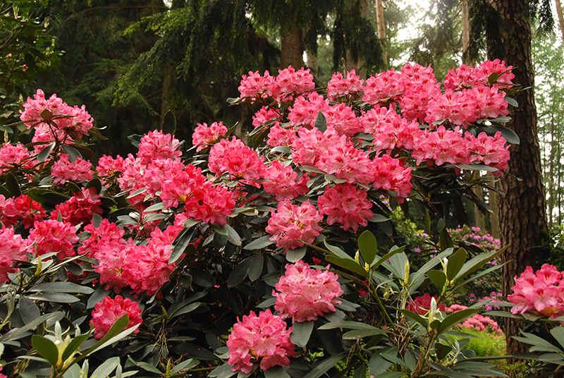 http://www.rhodoland.nl/fotos2/rhododendron_niesi.jpg