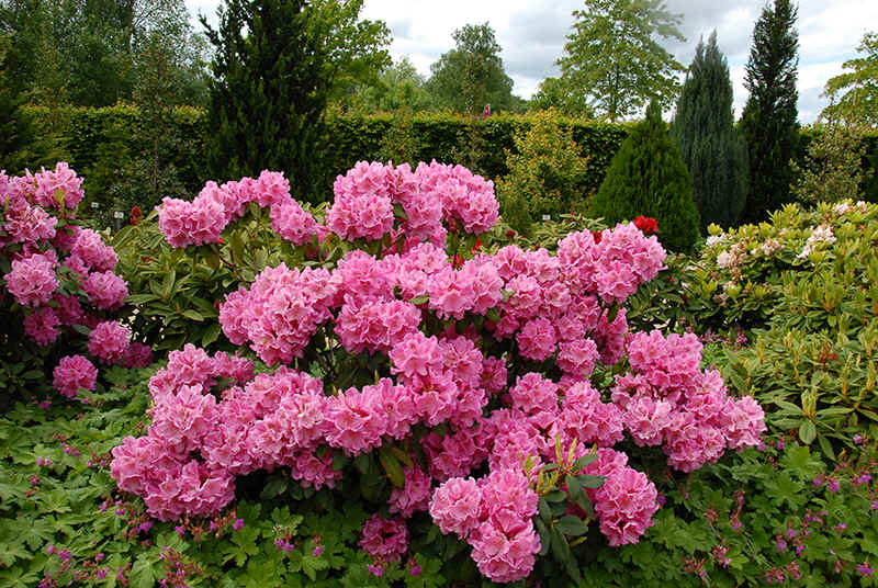 http://www.rhodoland.nl/fotos2/rhododendron_nirens.jpg