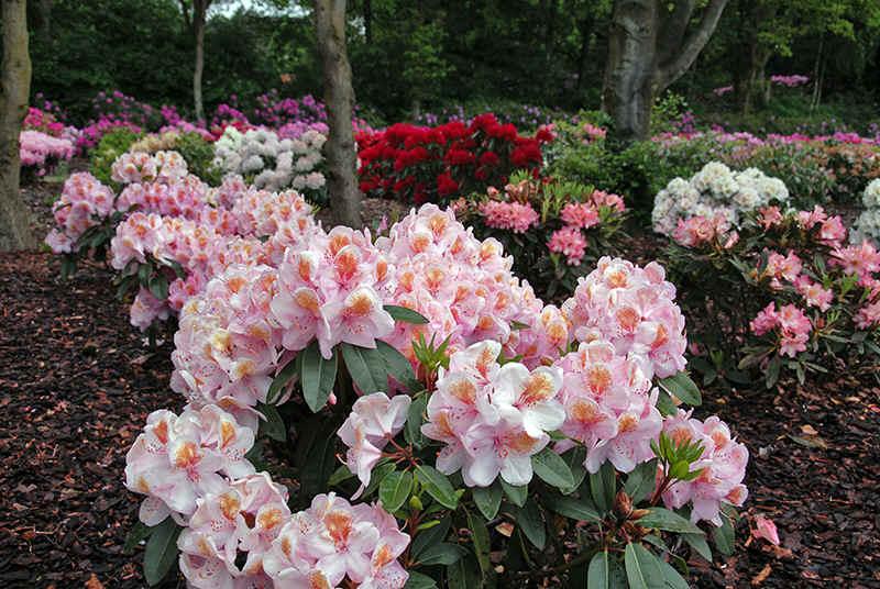 http://www.rhodoland.nl/fotos2/rhododendron_orange_eyes.jpg