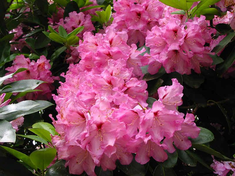 http://www.rhodoland.nl/fotos2/rhododendron_panenka.jpg