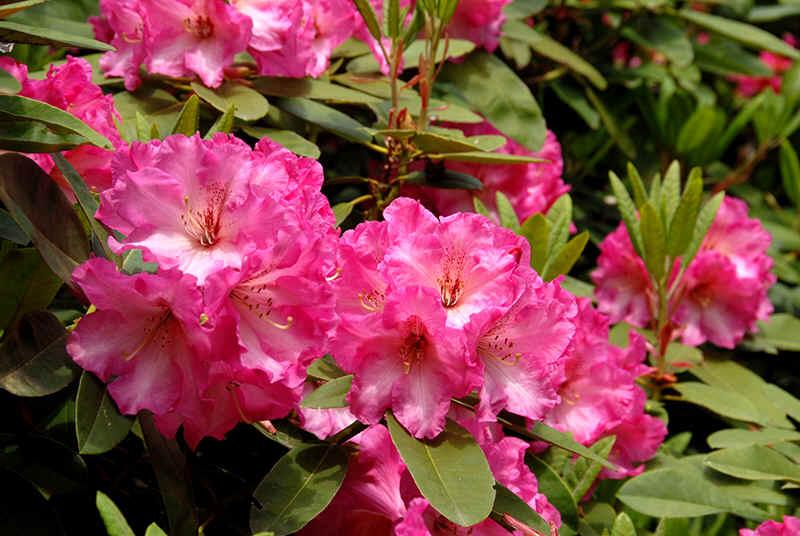 http://www.rhodoland.nl/fotos2/rhododendron_parker%27s_pink.jpg