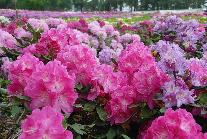 http://www.rhodoland.nl/fotos2/rhododendron_parkfreude.jpg