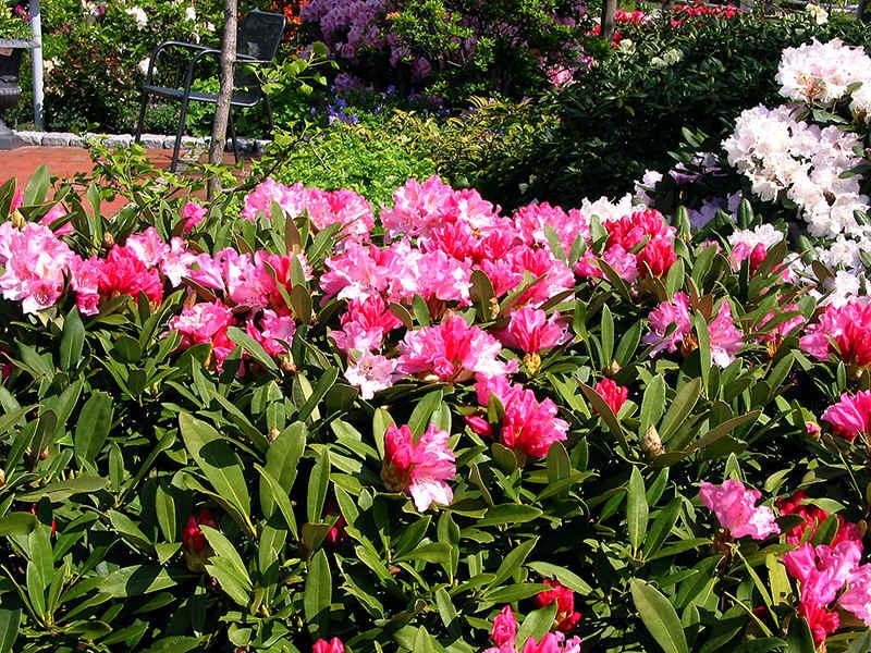http://www.rhodoland.nl/fotos2/rhododendron_pink_cherub.jpg