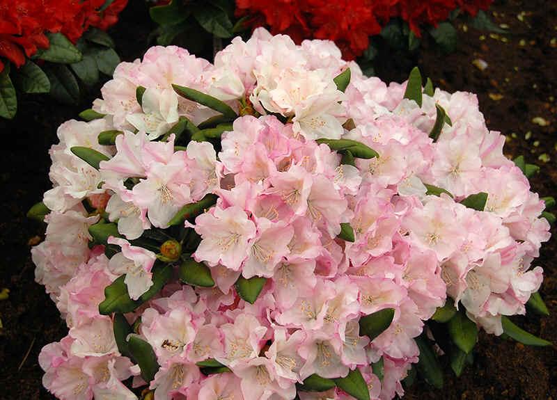 http://www.rhodoland.nl/fotos2/rhododendron_pink_parasol.jpg