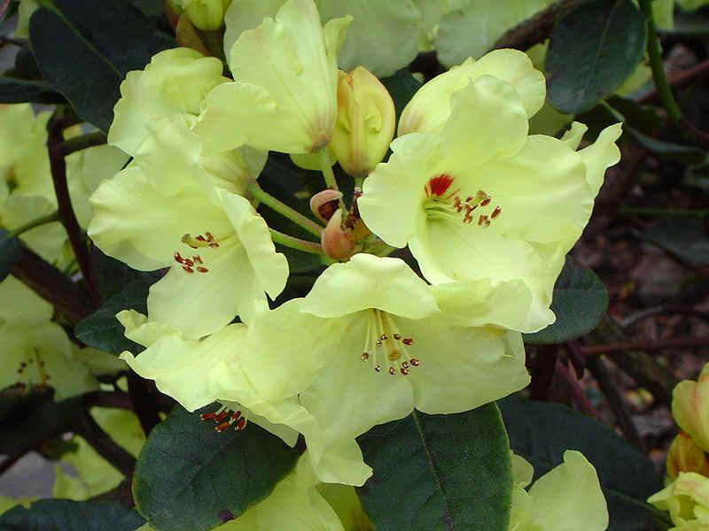 gelbbl hende rhododendronhybriden. Black Bedroom Furniture Sets. Home Design Ideas