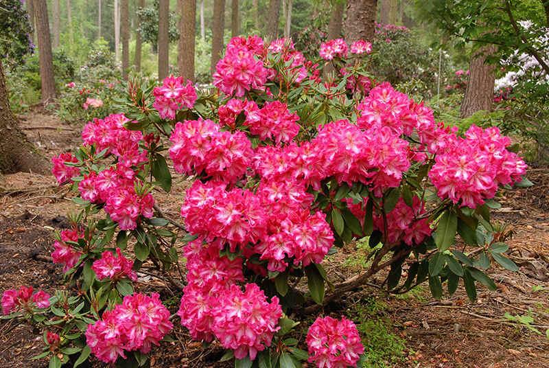 http://www.rhodoland.nl/fotos2/rhododendron_prinz_karneval.jpg