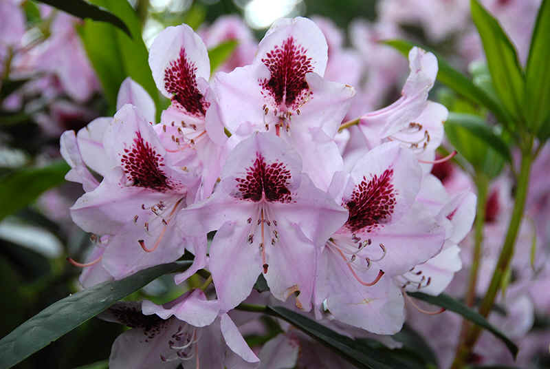 http://www.rhodoland.nl/fotos2/rhododendron_rasteder_perle.jpg