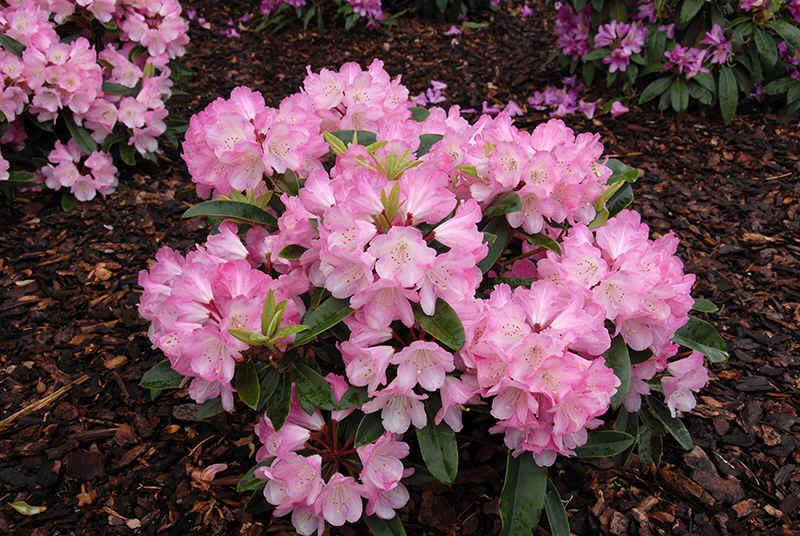 http://www.rhodoland.nl/fotos2/rhododendron_rheinzauber.jpg