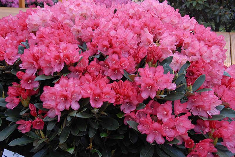 http://www.rhodoland.nl/fotos2/rhododendron_ronja.jpg