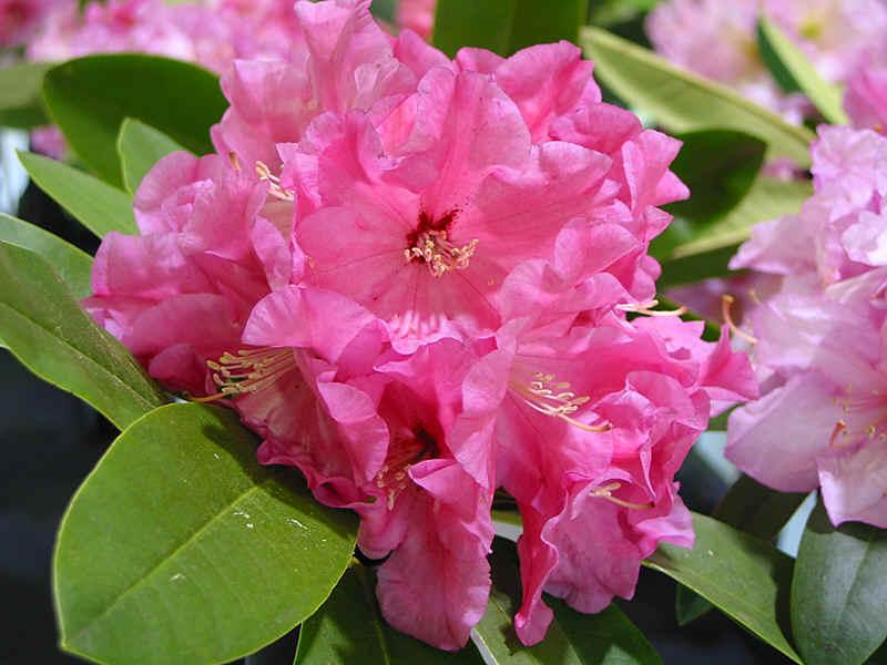http://www.rhodoland.nl/fotos2/rhododendron_ruby_bowman.jpg