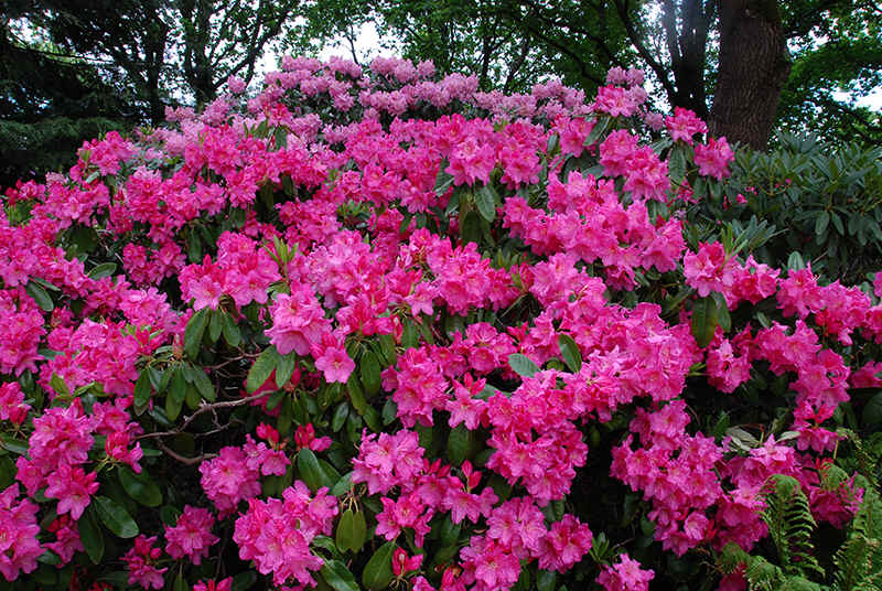http://www.rhodoland.nl/fotos2/rhododendron_saba.jpg
