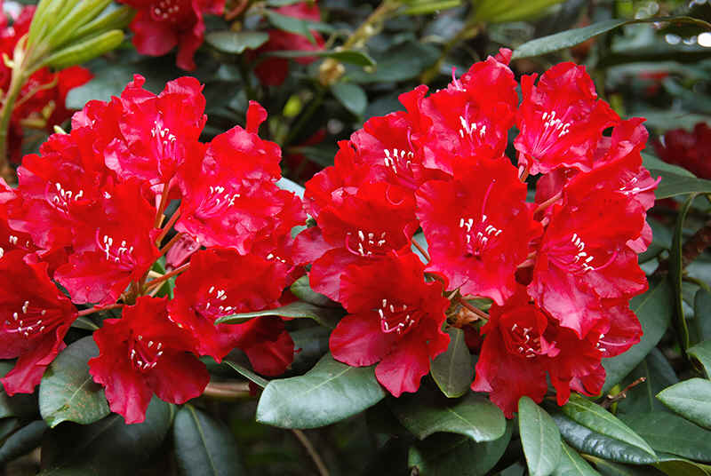 red flowering rhododendrons. Black Bedroom Furniture Sets. Home Design Ideas
