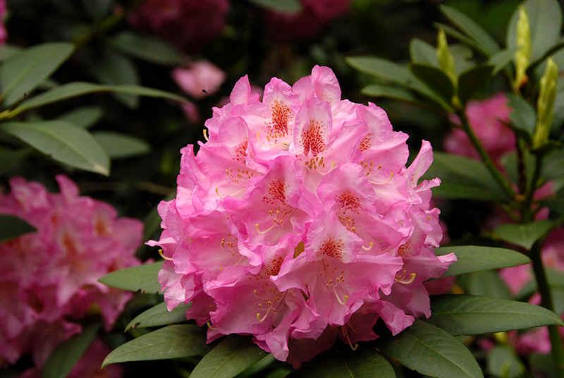 http://www.rhodoland.nl/fotos2/rhododendron_spreeauenpark_cottbus.jpg