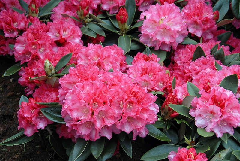 http://www.rhodoland.nl/fotos2/rhododendron_tina_heinje.jpg
