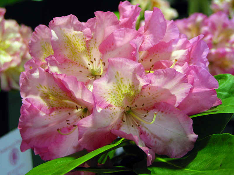 http://www.rhodoland.nl/fotos2/rhododendron_todmorden.jpg