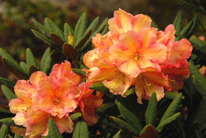 Assortment of orange flowering rhododendrons for Cream valencia fotos