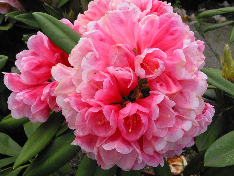 http://www.rhodoland.nl/fotos2/rhododendron_vintage_rose.jpg