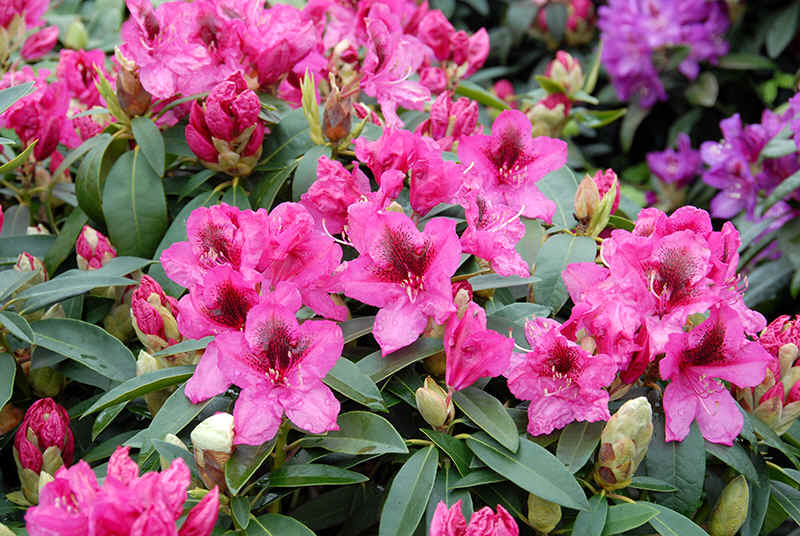 http://www.rhodoland.nl/fotos2/rhododendron_viscount_powerscourt.jpg