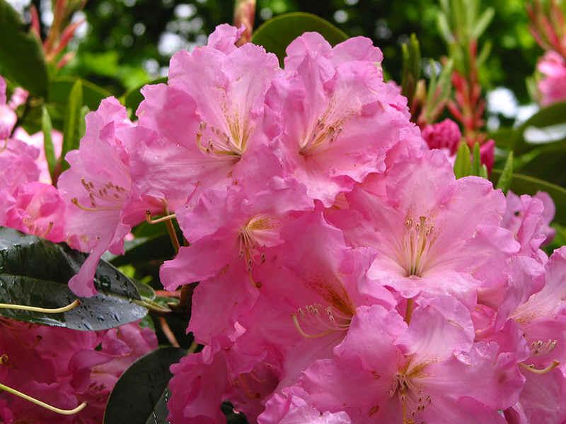 http://www.rhodoland.nl/fotos2/rhododendron_wheatly.jpg