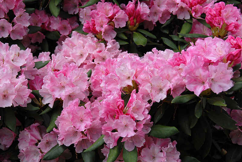 http://www.rhodoland.nl/fotos2/rhododendron_yaku_king.jpg