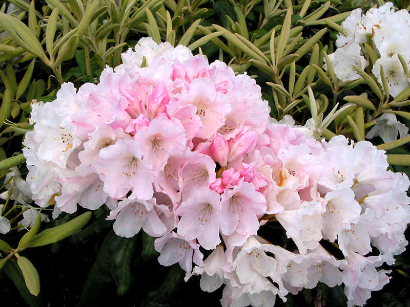 Assortment of pink flowering rhododendrons vintage rose light pink flowers like trumpets ml c wega pale pinkt williamsianum m hh winsome deep pink fine bronze new leaves m mightylinksfo