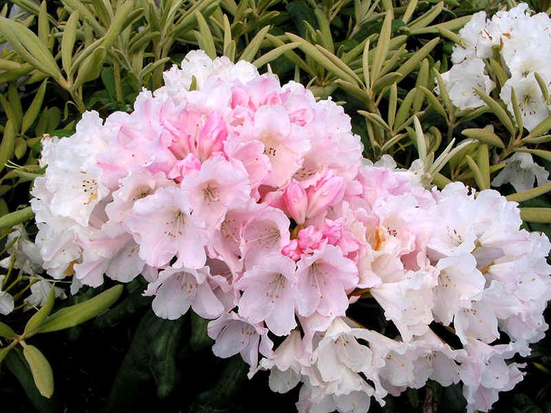 With Yellow Blotch Coldhardy C To Hh M Yaku Sunrise Yak Warm Pink Fine New Leaves