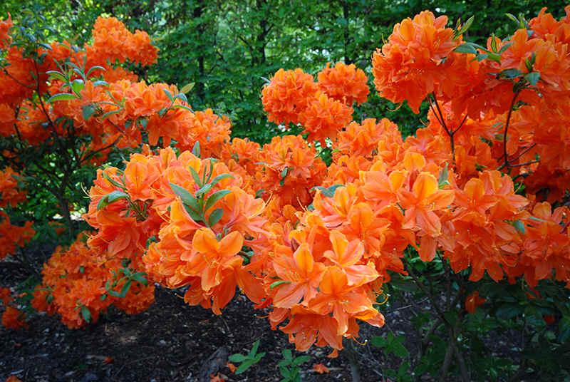 De prachtige soorten bladverliezende azalea 39 s - Azalee da esterno ...